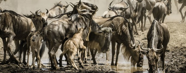 Safari Wildebeest Migration Tanzania
